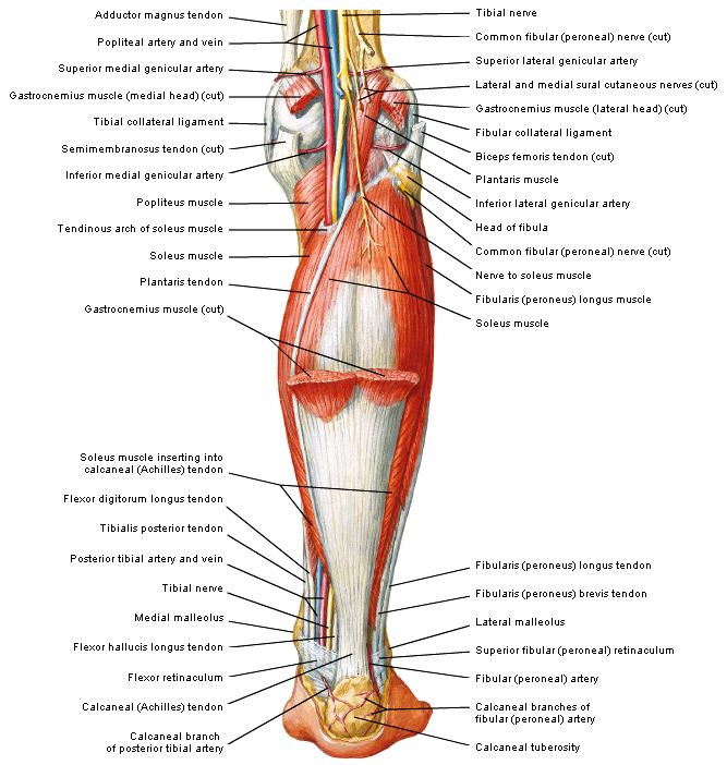 spieren bekken