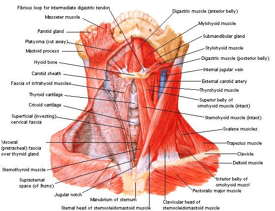 spieren nek
