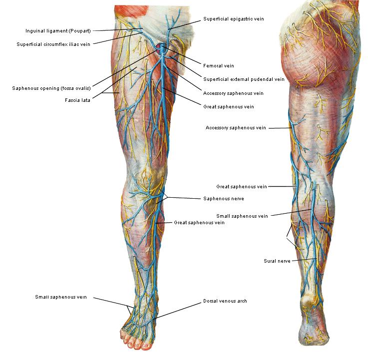 Nett Vene Von Giacomini Anatomie Fotos - Menschliche Anatomie Bilder ...