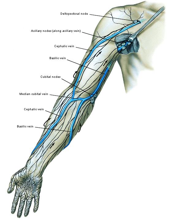 Berühmt Arm Arterie Anatomie Fotos - Anatomie Von Menschlichen ...