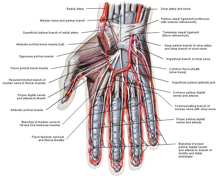 anatomie vinger