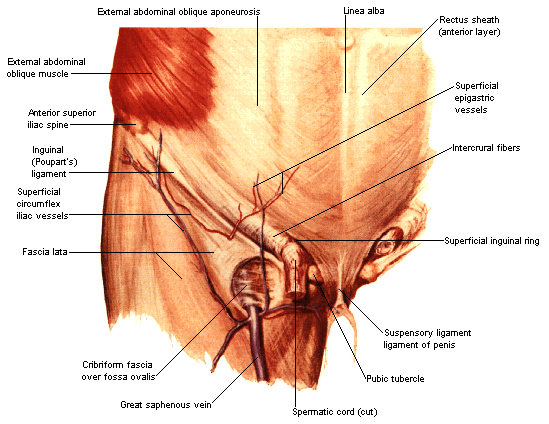 penis ligament