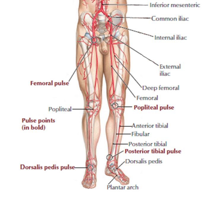 anatomie beenvaten